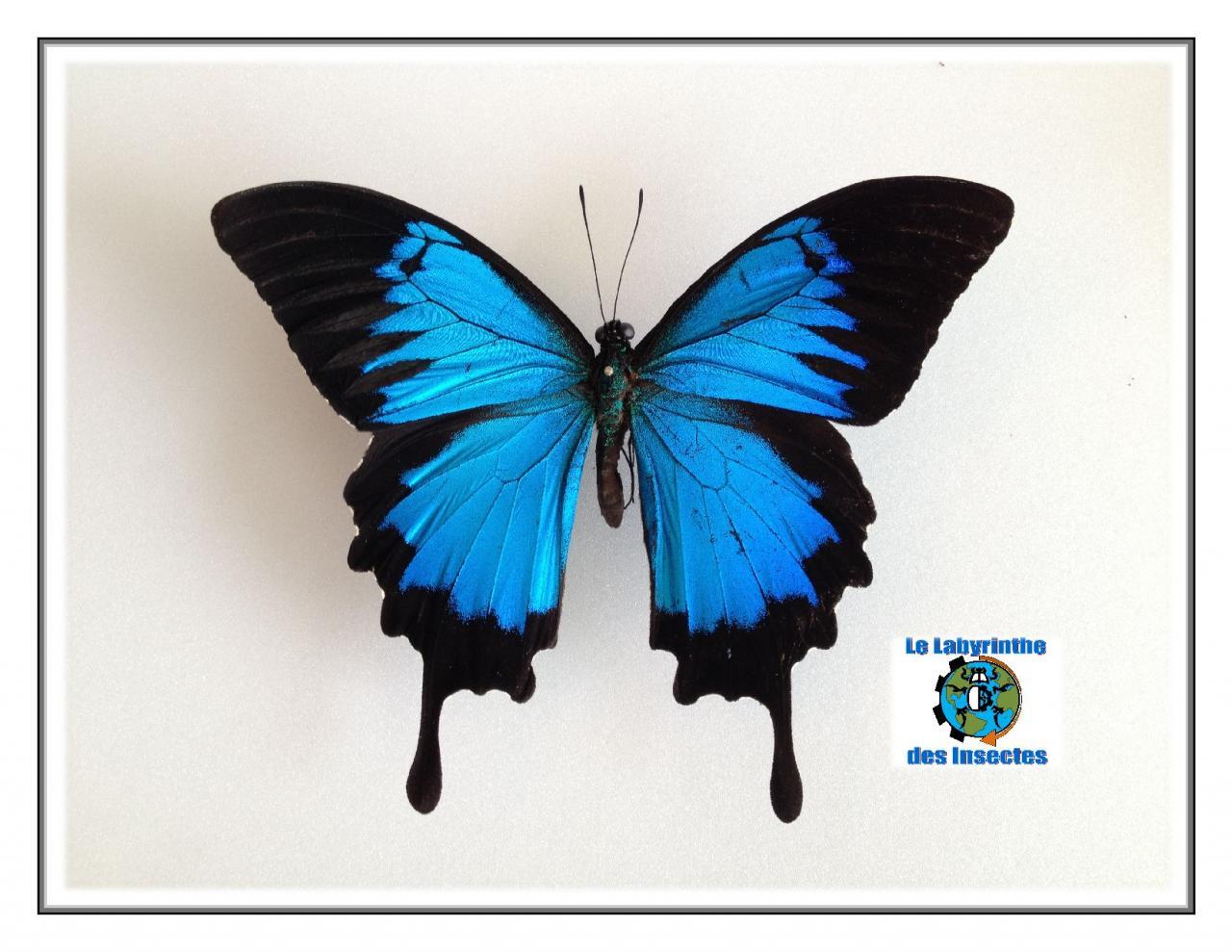 Papillon Ulysse aussi appelé le machaon blue montagne