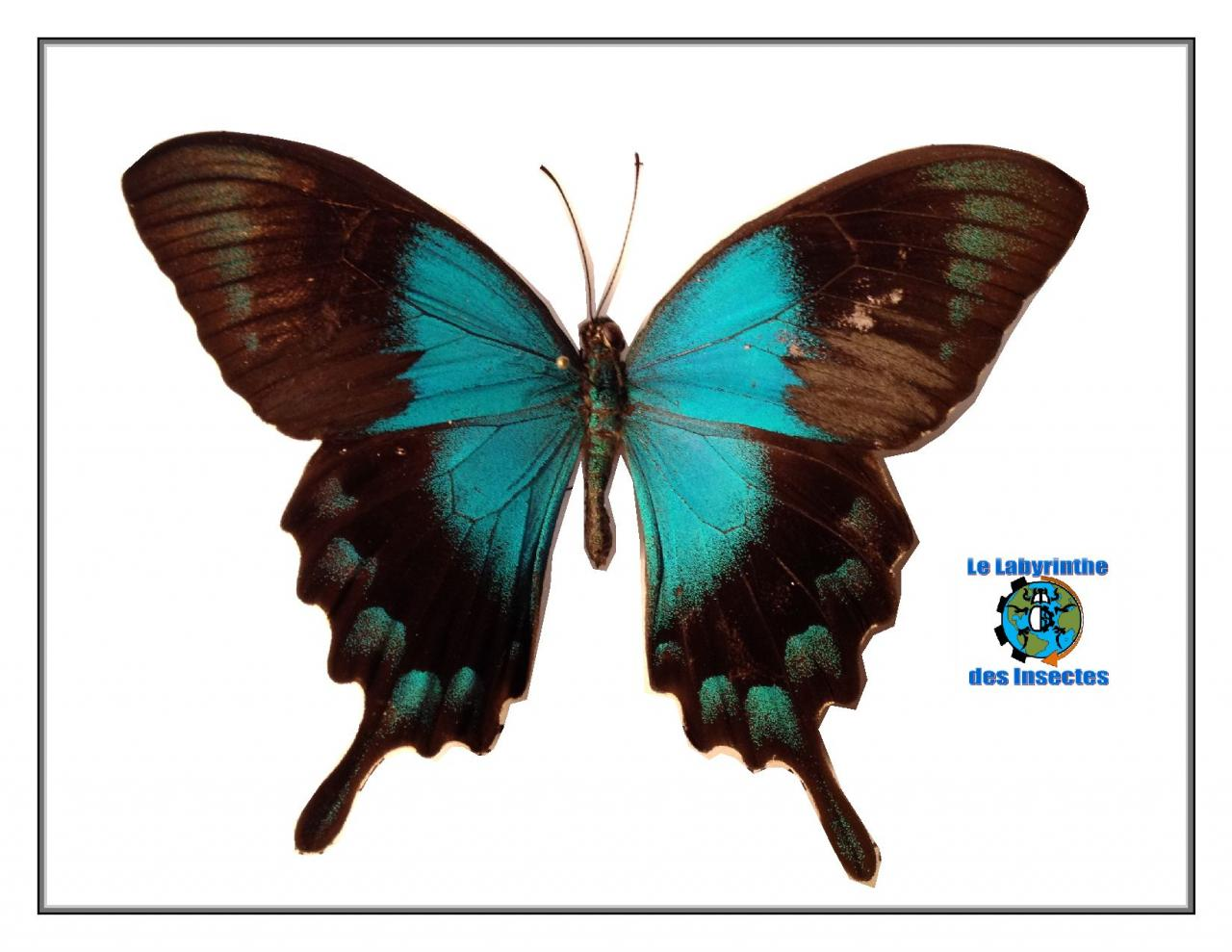 Papilio lorquinianus , le Sea Green machaon