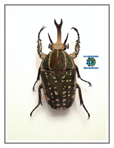 Chelorrhina savagei