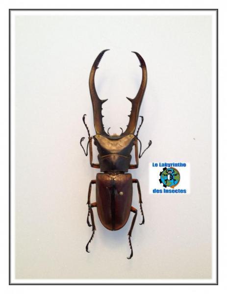 Cyclommatus Métallifer