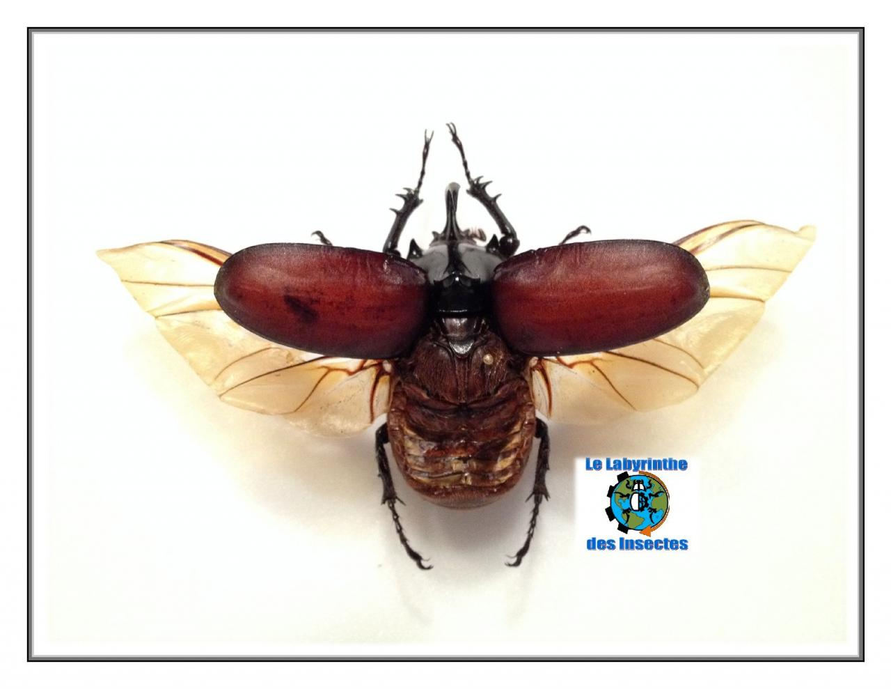 Eupatorus Birmanicus