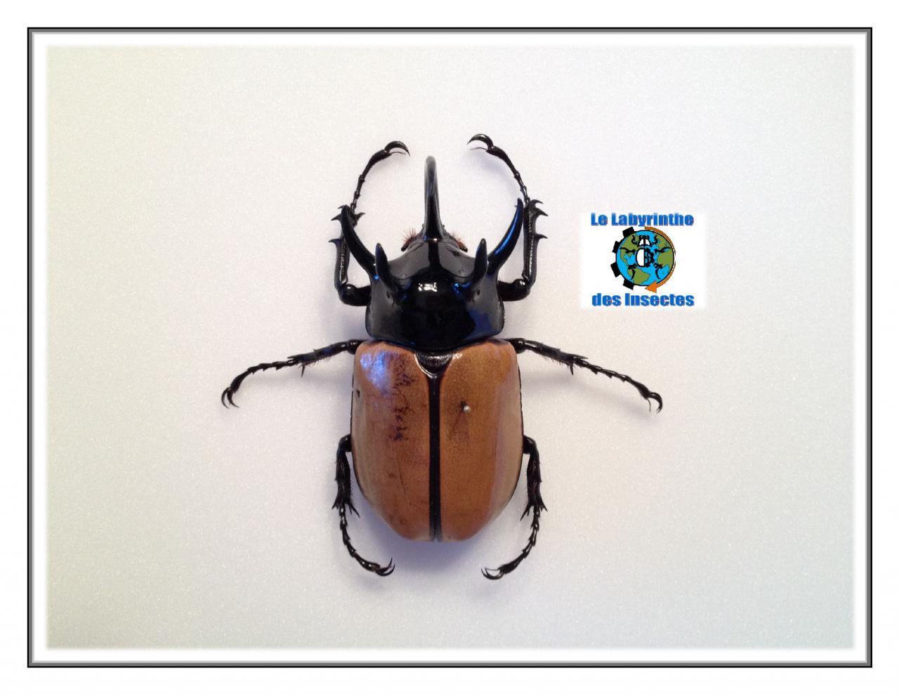 Eupatorus Gracilicornis elytre fermé
