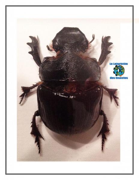 Heliocopris Dominus (Bouzier)