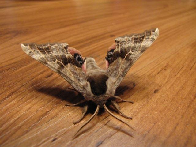 Visite d'un papillon de la nature/ visit from a nature moth