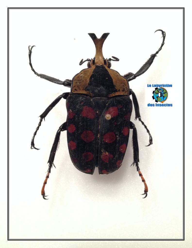 Mecynorrhina passerinii