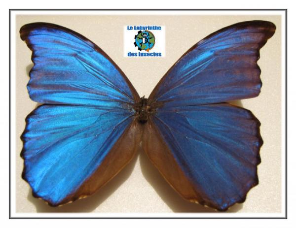 Morpho Bleu