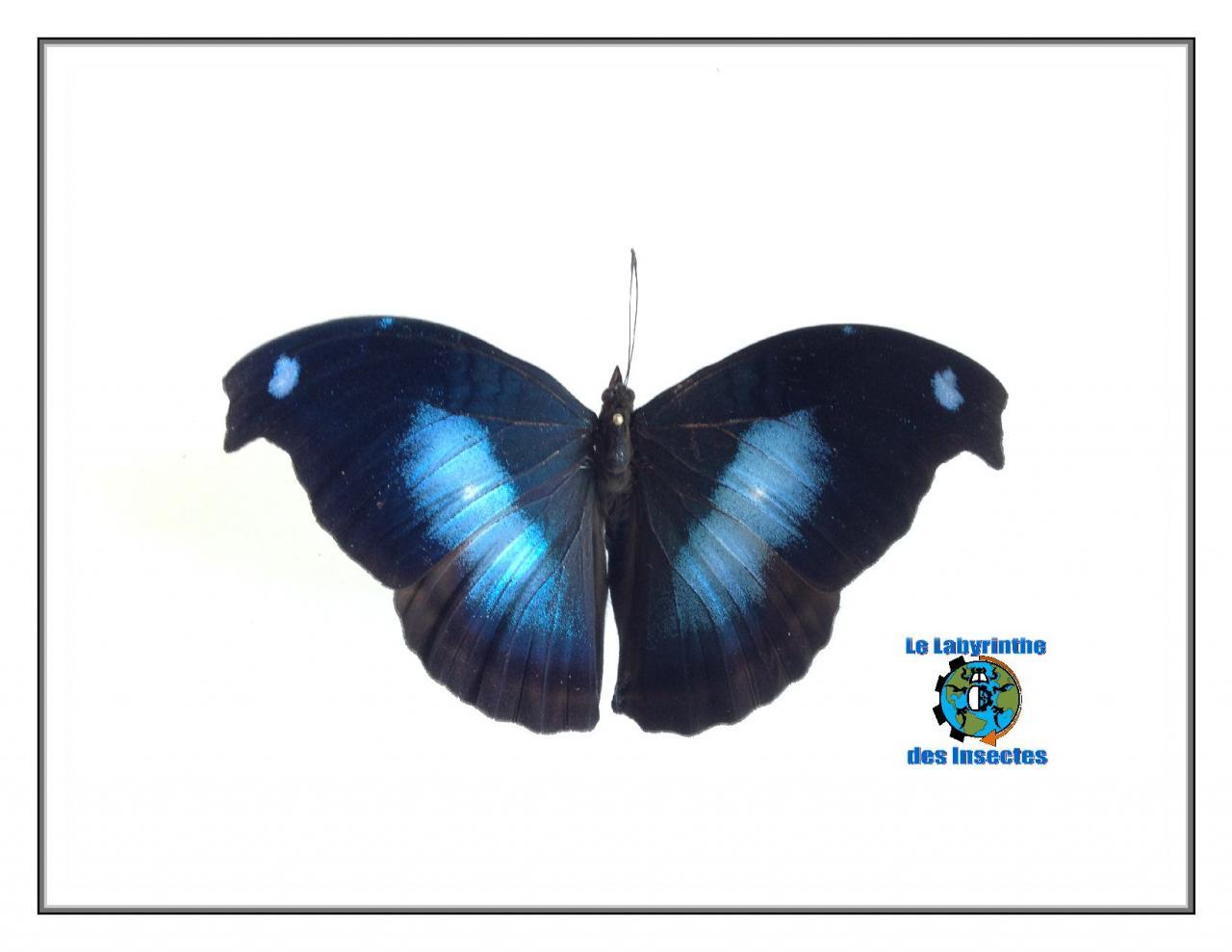 Le Hookwing Bleu