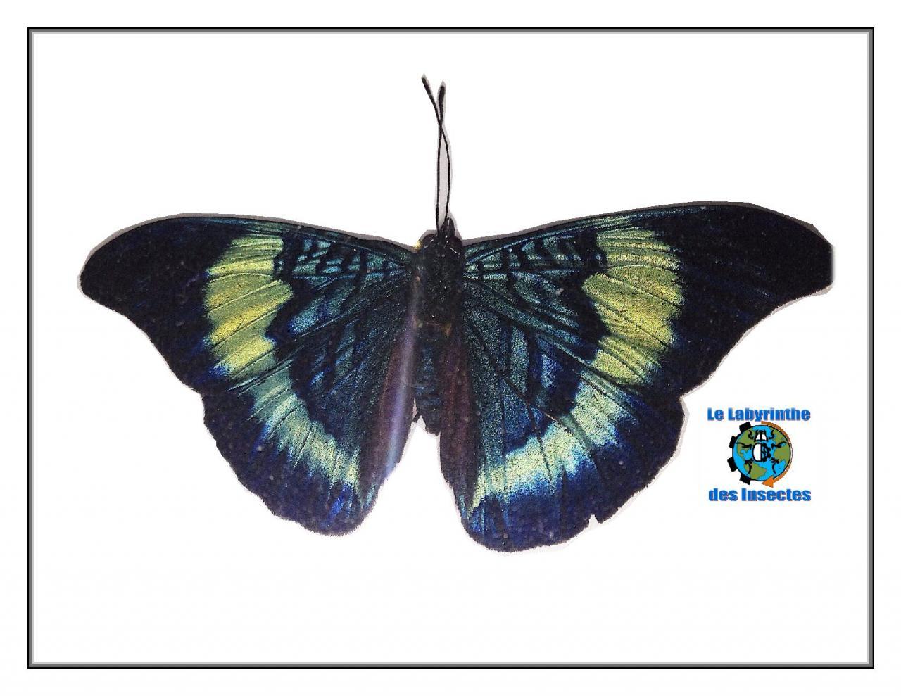 Papillon brosse pieds